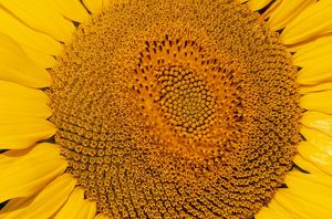 Sunflower - Close-up