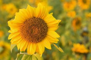 Sunflower - a field of sunflowers with one single flower accentuated in the foreground