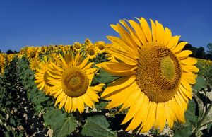 Sunflower - France