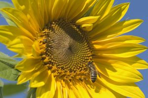 Sunflower - a honeybee (apis mellifera) gathers nectar on a single sunflower against