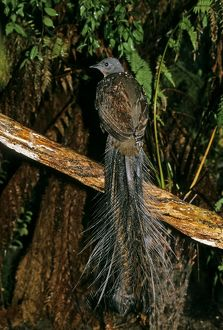 Superb LYREBIRD - mature male bird