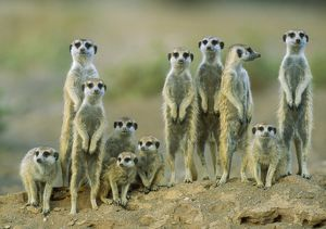 Suricate / Meerkat adults with young on the lookout