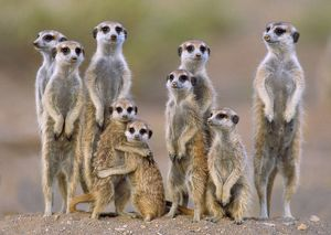 Suricate / Meerkat - family with young on the lookout