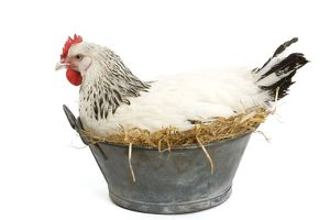Sussex Chicken - sitting on next in tin bucket