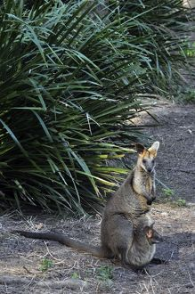 Swamp Wallaby - with well-grown 'joey' in its mother's