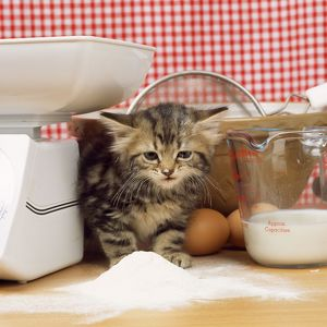 Tabby Cat - kitten with flour on nose & whiskers, by scales & mixing bowl.