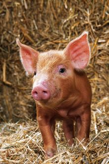 Tamworth PIG - piglet standing in straw