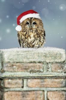 Tawny Owl - sitting on snowy chimney wearing Christmas hat