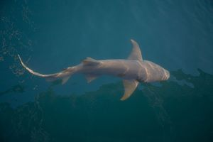 Tawny Shark - Off Raft Point Kimberley coast,