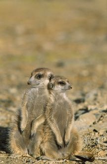 loving animals/td 1472 suricate meerkat different aged young