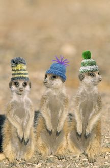 TD-1477-M2 Suricate / Meerkat - x3 young on lookout, wearing christmas hats