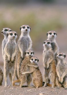 Suricate / Meerkat - family with young on the lookout at the edge of its burrow.