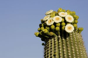 TD-1751 Giant Saguaro - With buds and flowers