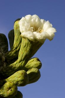 TD-1752 Giant Saguaro - Buds and flower