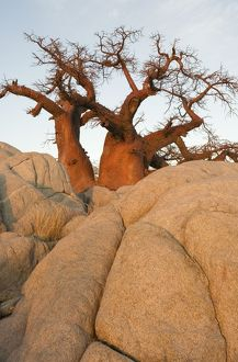 TD-1905 Baobab / Boab - In the early morning at the isolated Kubu Island
