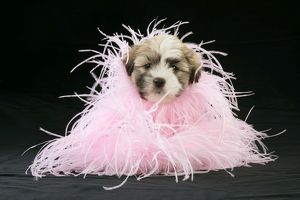 Teddy Bear Dog - puppy (8 weeks old) with black background and pink scarf