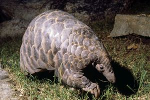 Temminck's Ground / Cape Pangolin
