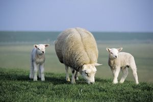 Texel Sheep - ewe with twin lambs