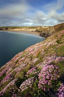 Thrift - Holywell Bay
