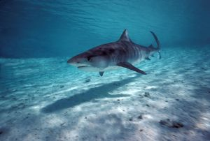 Tiger SHARK - in shallow water lagoon