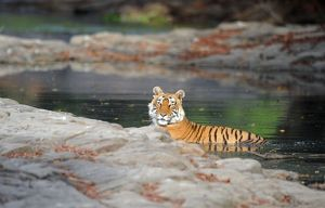 Tiger - in water pool