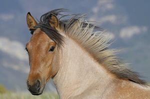 TOM-1894 Wild / Feral Horse - two year old mare