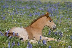 TOM-1898 Wild / Feral Horse - colt resting among wildflowers