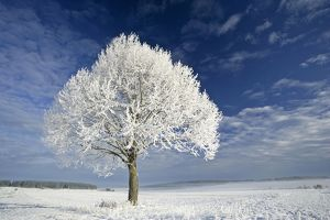 Tree and frost, winter landscape