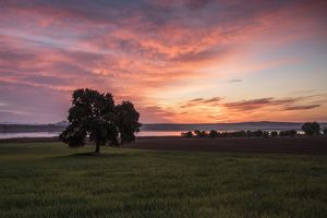 Tree in wheat fields at sunrise