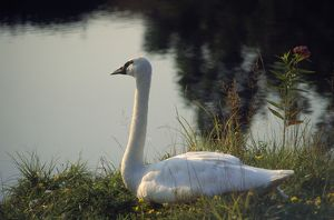 TRUMPETER SWAN - SITTING,ON BANK