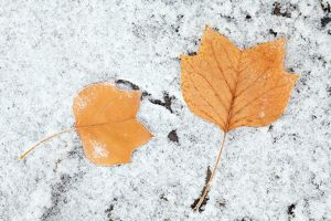 Tulip Tree - autumn leaves on ground and hoar frost