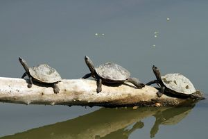 Turtles - in the river Brahamputra