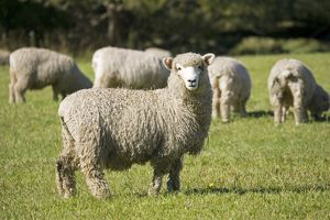Unshorn Merino sheep