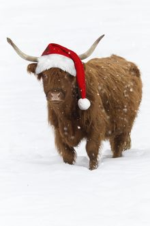 USH-5065-M Scottish Highland Cow - standing on snow wearing Christmas hat.