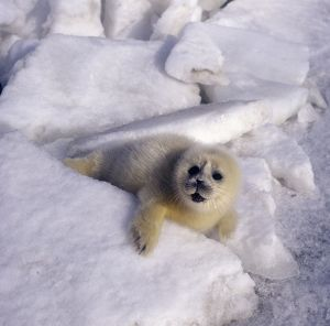 VVPP-10 Caspian Seal - pup - fur changing from yellow to white
