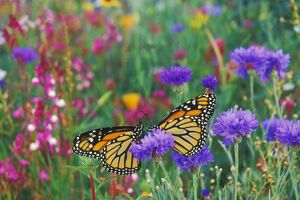 Wanderer / MONARCH / Milkweed Butterflies - resting in garden of flowers