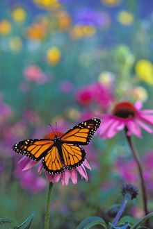 Wanderer / MONARCH / Milkweed Butterfly - on coneflower in field of wildflowers