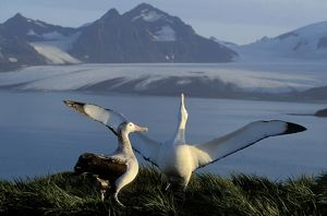 Wandering Albatross - Courtship display