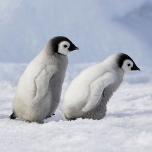 WAT-10863-C Emperor Penguins. 2 young ones walking in a line