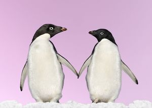 WAT-13613-M2 Penguins - two, holding hands with pink background.
