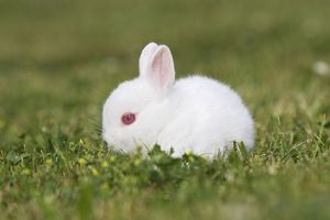 WAT-14347 White Polish rabbit with red eyes - baby