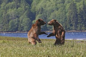 WAT-14618 Grizzly Bear - two cubs play-fighting / wrestling