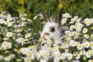 WAT-15204 Domestic Rabbit - young in daisies