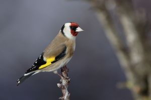 WAT-15828 Goldfinch