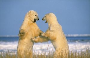 WAT-164 POLAR BEAR - two on hind legs, fighting