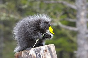 WAT-16715 North American Porcupine - baby holding yellow flower