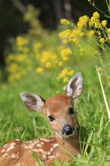 WAT-16851 White-tailed Deer - fawn