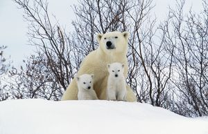 WAT-5180-M Polar Bear - and two cubs wearing christmas hats