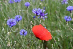 WAT-9721 Corn / Field / Red POPPY - with Cornflowers (Centaurea cyanus) in field