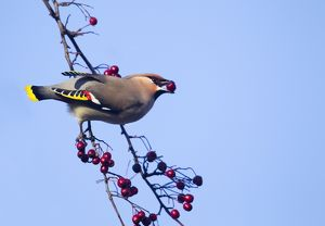 Waxwing - eating berries form a tree and showing adult male wing detail - November